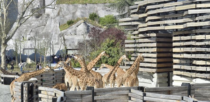 Giraffes Vincennes Zoo